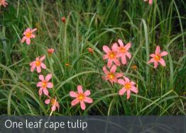 images/weeds/One-leaf-cape-tulip-meelup-park.jpg