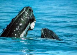 images/whale-watching/3-hump-back-whale-calf-meelup-park.jpg
